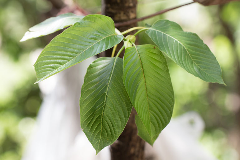 Kratom For Anxiousness For Cash